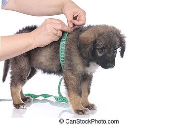 Cute mixed breed with measuring tape isolated