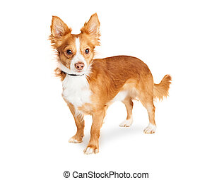 Cute Mixed Small Breed Dog Standing Over White