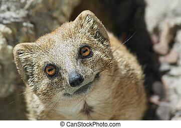 cute mongoose