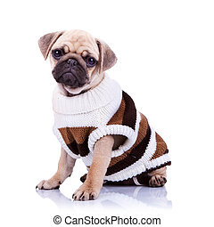 cute mops puppy dog wearing clothes and looking to the ...