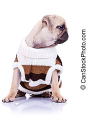 cute mops puppy dog wearing clothes is looking to its side ...