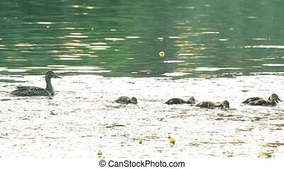 Cute mother duck with a flock of ducklings in pond