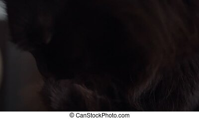 Cute muzzle of a black cat which washes himself close up