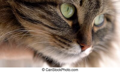 Cute muzzle of a fluffy tabby cat close up