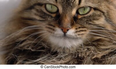 Cute muzzle of a fluffy tabby cat