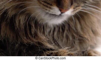 Cute muzzle of a fluffy tabby cat which washes himself close...