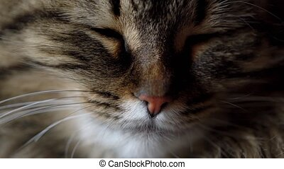 Cute muzzle of a tabby domestic cat close up - Lovely muzzle...