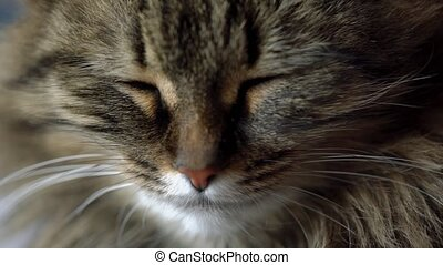 Lovely muzzle of a tabby domestic cat close up