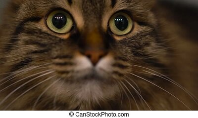 Cute muzzle of a tabby domestic cat that looks in different directions