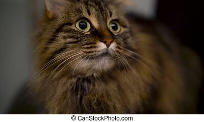 Cute muzzle of a tabby domestic cat that looks in different...