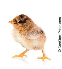 Cute newborn chicken