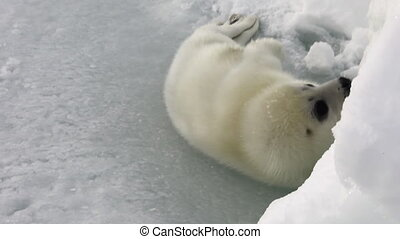 Cute newborn seal on ice of White Sea in Russia. Predatory...