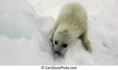 Cute newborn seal on ice White Sea in Russia. Predatory...