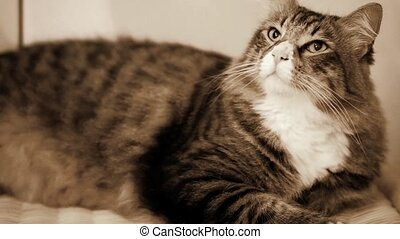 Cute Norwegian Cat In Sepia Tones - Video clip of cute...