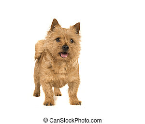 Cute norwich terrier dog standing with mouth open isolated on white background