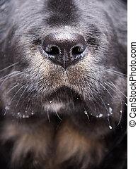 cute nose of black labrador retriever dog