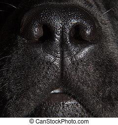 cute nose of black labrador retriever dog - Close up snout ...