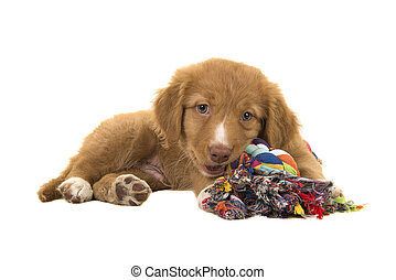 Cute nova scotia duck tolling retriever puppy lying down seen from the side facing the camera while chewing on a multicolored woven rope dog toy