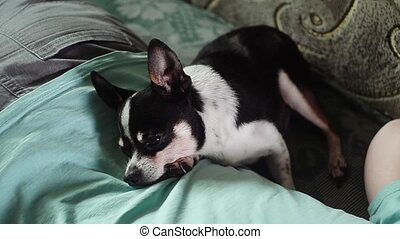 Cute old chihuahua sleeps on the back of his mistress....