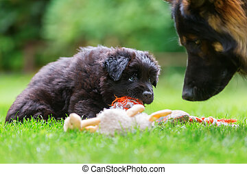 Old German Shepherd puppy plays with a soft toy