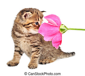 cute one month old kitten with a rose