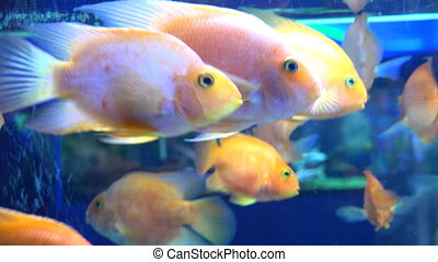 Cute Orange Fish in Aquarium. Blue background