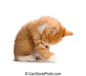Cute Orange Kitten Bathing on White - Cute Orange Kitten ...