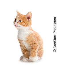 Cute orange kitten looking up on a white background. - Cute ...