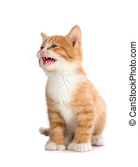 Cute Orange Kitten Meowing on White - Cute orange kitten ...