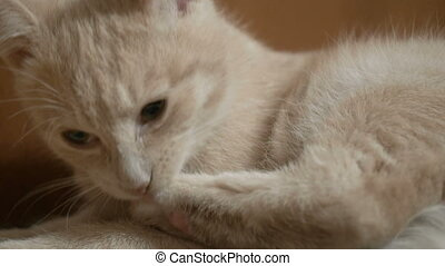 Cute orange kitten washes his paw. - Cute orange kitten...