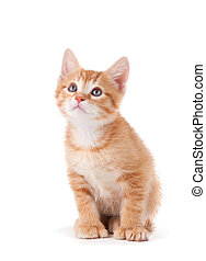 Cute orange kitten with large paws looking up on a white ...