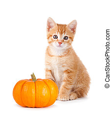 Cute orange kitten with mini pumpkin on white. - Cute orange...