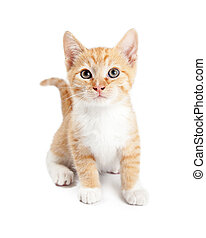 Cute Orange Tabby Kitten Isolated on White
