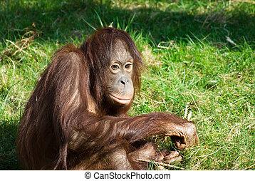 cute orangutan on the grass