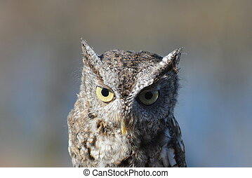 Cute owl - Close-up of the head of a cute little screech-owl