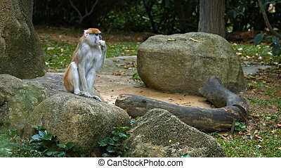Cute Patas Monkey on a Rock at the Zoo.