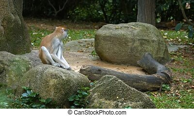 Adorable, adult specimen of patas monkey, sitting on a rock and munching on a snack in his habitat enclosure at the zoo. UltraHD video