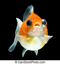 Cute Pearlscale Goldfish Telescope