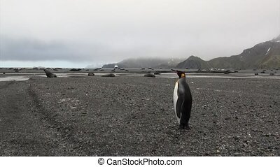 Cute penguin among the seals on the background of snowy mountains in Antarctica.