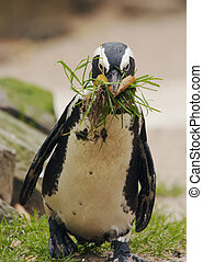 cute penguin getting stuff to build a nest