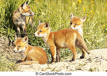 cute, pequeno, natural, raposa, meio ambiente, filhotes, vermelho