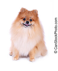 cute pet, brown pomeranian grooming dog isolated on white backgr
