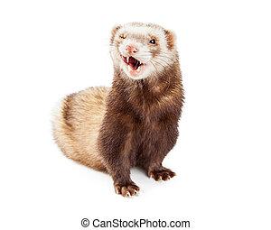 Cute Pet Ferret Funny Expression
