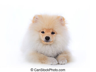 cute pet, pomeranian grooming dog isolated on white background