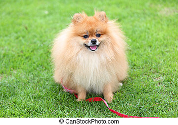 cute pet, pomeranian grooming dog sitting on green grass at home