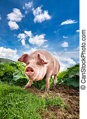 Cute pig grazing at summer meadow at mountains pasturage under b