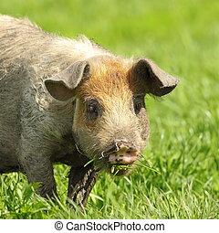cute pig portrait