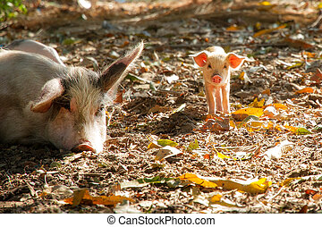 Cute piglet and sow (sus scrofa) in the morning sun in...