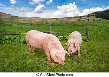 Cute pigs grazing at summer meadow at mountains pasturage under blue sky. Organic agriculture natural background