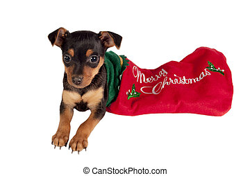 Cute Pincher puppy in a Christmas stocking.